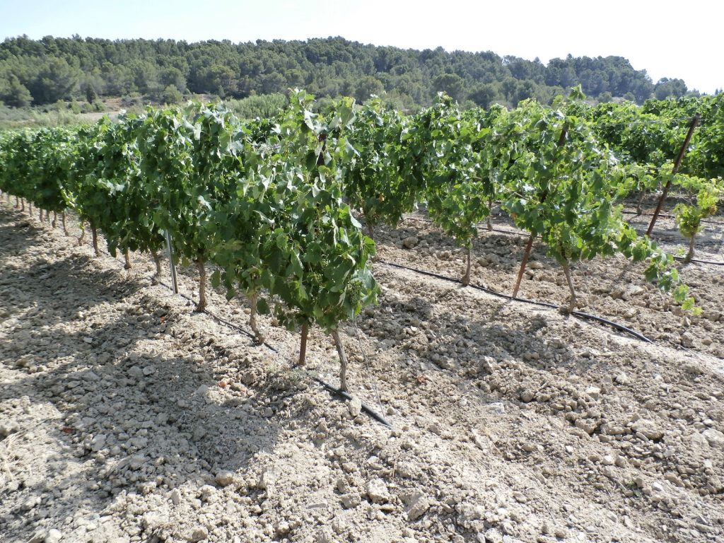 Aude Valley vines